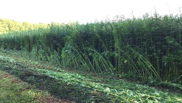 EnWave Corp hemp production